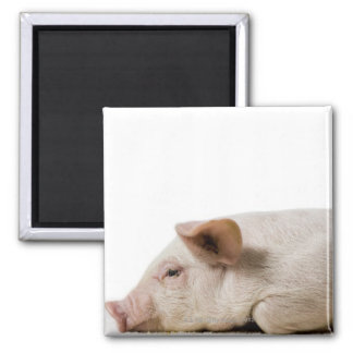 Piglet Lying Down Profile Square Magnet