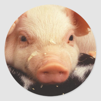 Piglet Pig Adorable Face Snout Classic Round Sticker