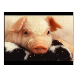 Piglet Pig Adorable Face Snout Postcard