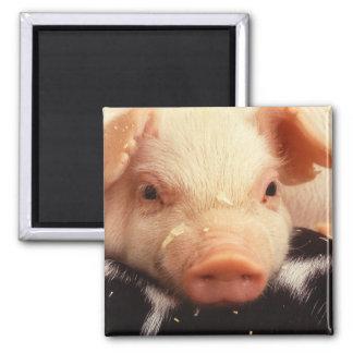 Piglet Pig Face Snout Square Magnet