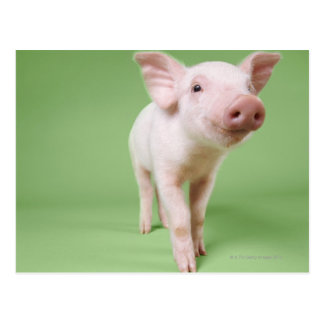 Piglet Standing Postcard