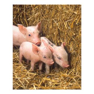 Piglets Flyers