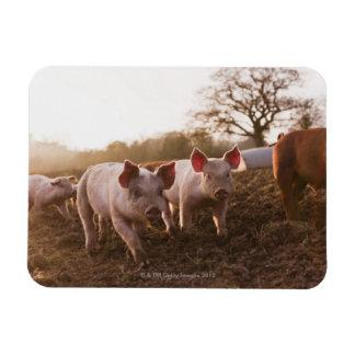 Piglets in Barnyard Rectangular Photo Magnet