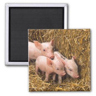 Piglets Refrigerator Magnets