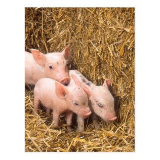Piglets Post Card
