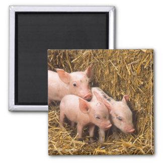 Piglets Square Magnet