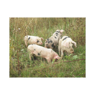 Pigs in a Field Canvas Print
