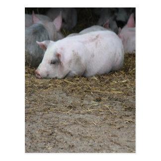 Pigs on The Farm Postcard