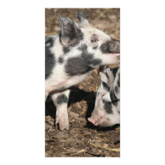 Pigs Picture Card