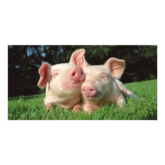 Pigs together custom photo card
