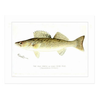 Pike Perch or Wall-eyed Pike Postcards
