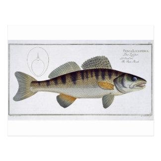 Pike-Perch (Perca lucioperca) plate LI from 'Ichth Postcard