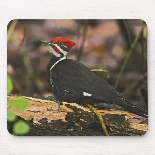 Pileated Woodpecker, Dryocopus pileatus, Mouse Mat