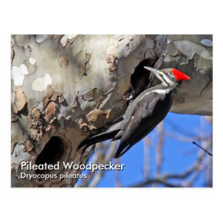 Pileated Woodpecker Postcard