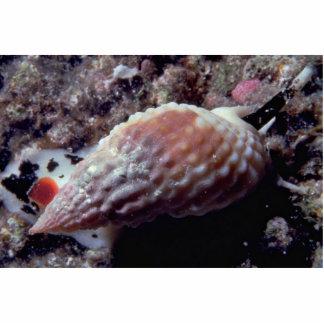 Pimpled basket shell (Nassarius papillosus) Shell Photo Cutout