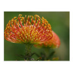 pincushion-protea post cards