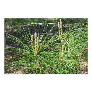 Pine Needles by Kenneth Yoncich Photo