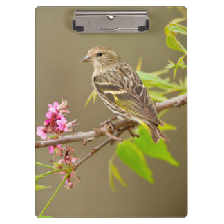 Pine Siskin (Spinus Pinus) Adult Perched Clipboard