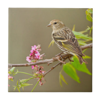 Pine Siskin (Spinus Pinus) Adult Perched Tile