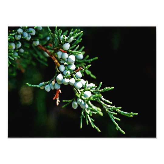 Pine Tree Branch Photo Print