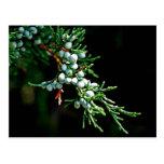Pine Tree Branch Postcards