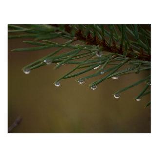 Pine Tree Drops Postcard