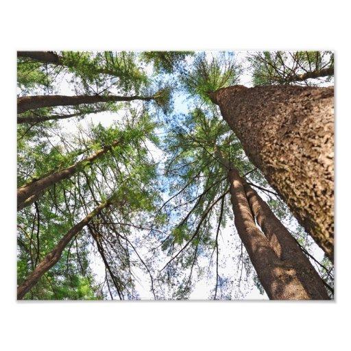 Pines Trees To Heaven Art Photo