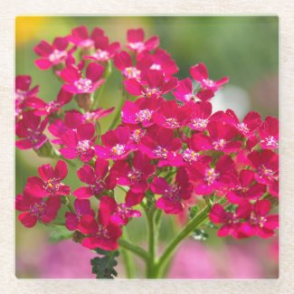 Pink Achillea Flowers Glass Coaster