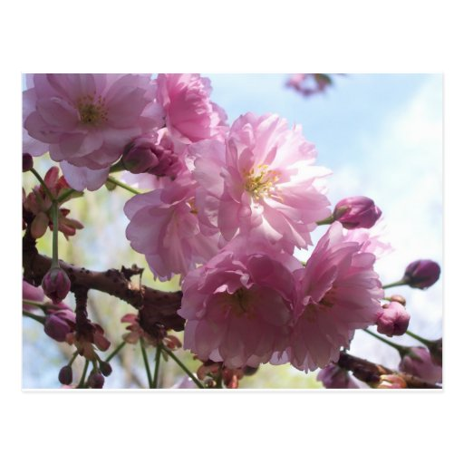 Pink Almond Branches Blossoms Flowers Tree Destiny Post Cards