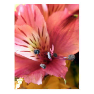 Pink Alstroemeria Flower Lilies Flowers Photo Postcard