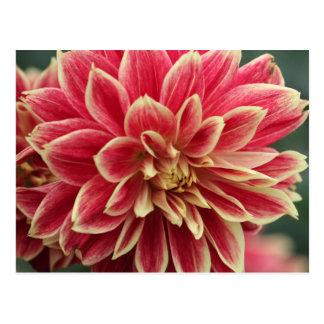 Pink and cream dahlia postcard