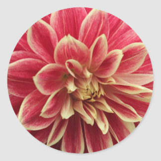 Pink and cream dahlia round sticker