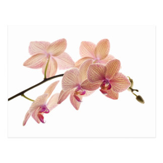 Pink and Peach Dendrobium Orchid - Customized Postcard