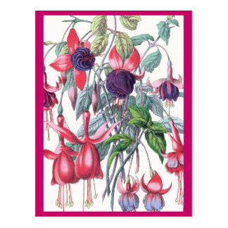 Pink and Purple Hanging Fuchsia Flowers Postcard
