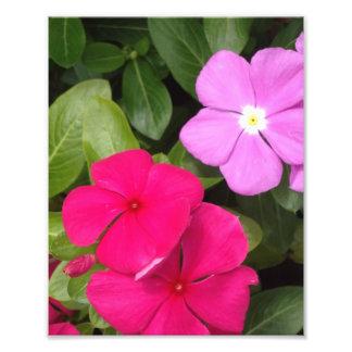 Pink And Purple Vinca Flowers Photo Print