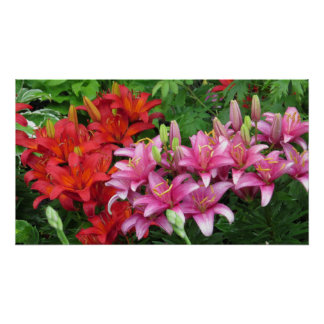 Pink  And Red Flower Lily Poster