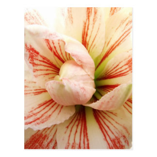Pink and White Amaryllis Flower Postcard