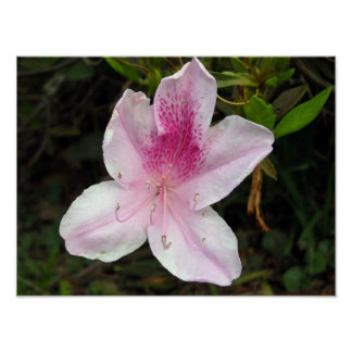 Pink and White Azalea Poster