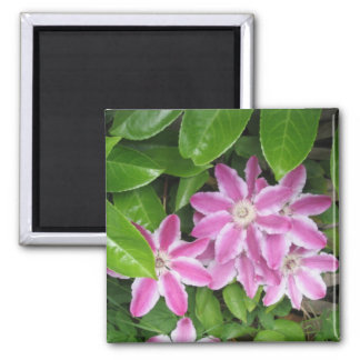 Pink and White Clematis Magnet