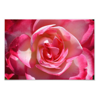 Pink and White Rose Photograph