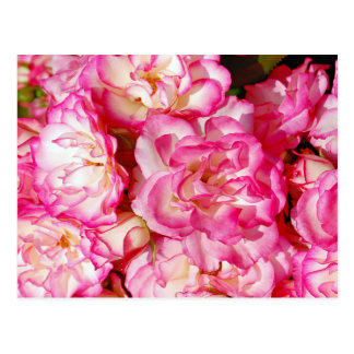 Pink and white spring roses postcard