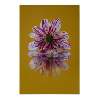 Pink and White Striped Daisy Gerbera Poster
