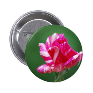 Pink and white striped rose 6 cm round badge
