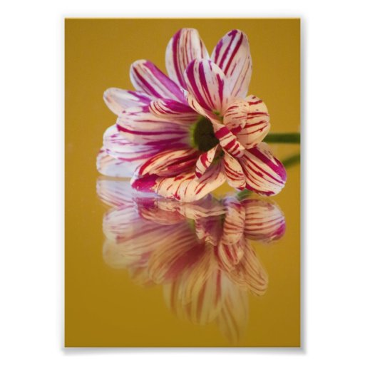 Pink and White Stripey Gerbera Flower Photographic Print