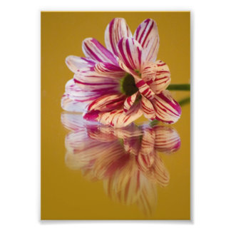 Pink and White Stripey Gerbera Flower Photograph