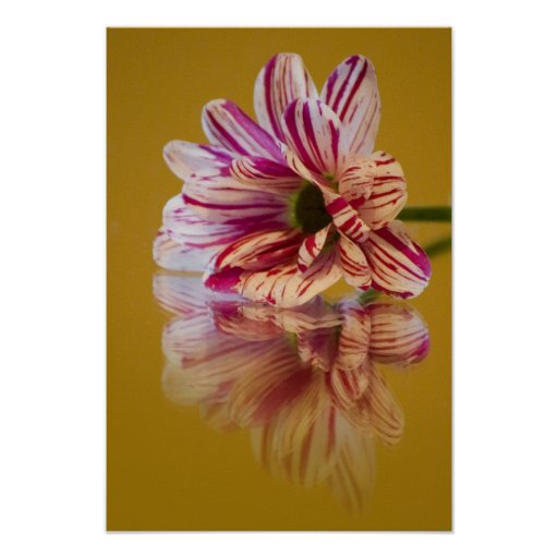 Pink and White Stripey Gerbera Flower Poster