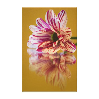 Pink and White Stripey Gerbera Flower Stretched Canvas Print