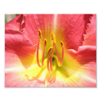 Pink and Yellow Asiatic Lily Photo Print