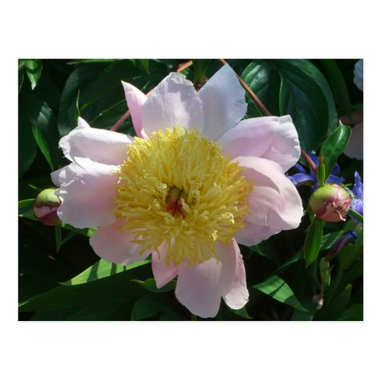Pink and Yellow Peonies Beautiful Floral Garden Postcard