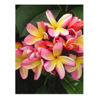 Pink and Yellow Plumeria Tropical Flowers Postcard